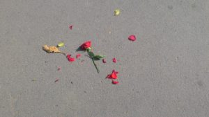 rose thrown on the ground